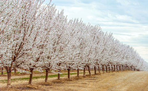 Almond orchard flowering pollination