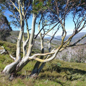 Snow Gum Honey