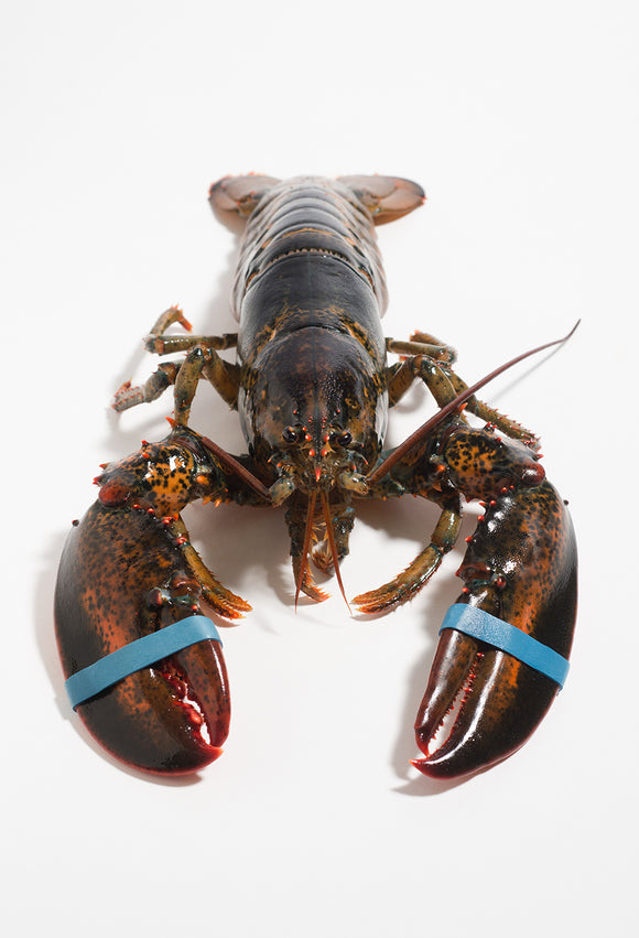 LOBSTER LIVE MAINE SIZE-1.25 (LB)