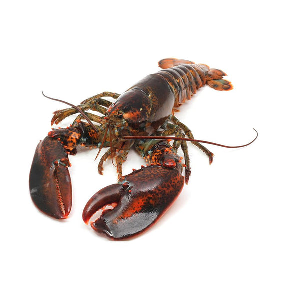 LOBSTER LIVE MAINE SIZE-1.5 (LB)