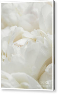 Close up of Peonies - Acrylic Print