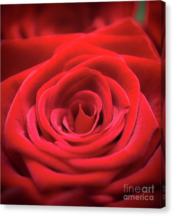 Red Roses - Grand Prix - Canvas Print