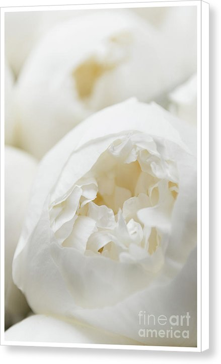 Close up of Peonies - Canvas Print