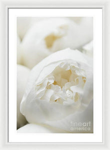 Close up of Peonies - Framed Print