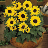 20pcs/bag Sunflower Seed Bonsai Flower Home Garden Landscape Plant Sunflower Seed