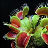300pcs/Pack Brand New Gardening Insect Plant Seeds Seeds Of Carnivorous Plants Insectivorous Giant Clip Flytrap