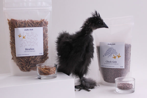 Black silkie chick with Chick grit and Meal worms, mealies at Studio Cluck