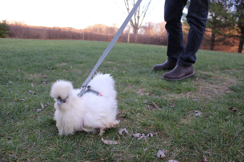 Our chicken Blanche going for a walk on the leash