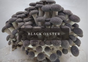 Mushroom Grow Kit - Black Pearl King Oyster