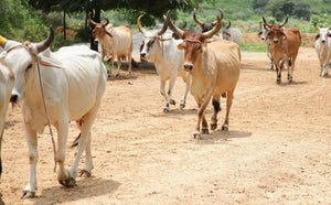 UNDERSTANDING THE DIFFERENCE BETWEEN INDIAN DESI COW AND THE JERSEY (HYBRID) COWS?