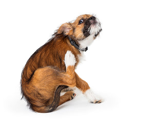 Keeping your Dog's Itchy Skin at Bay