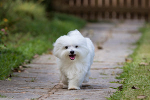 5  Best Hypoallergenic dogs to save your life (literally)