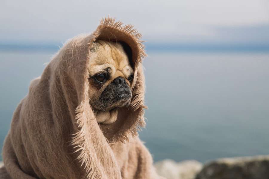 A cute dog wearing a blanket looking off into the distance.