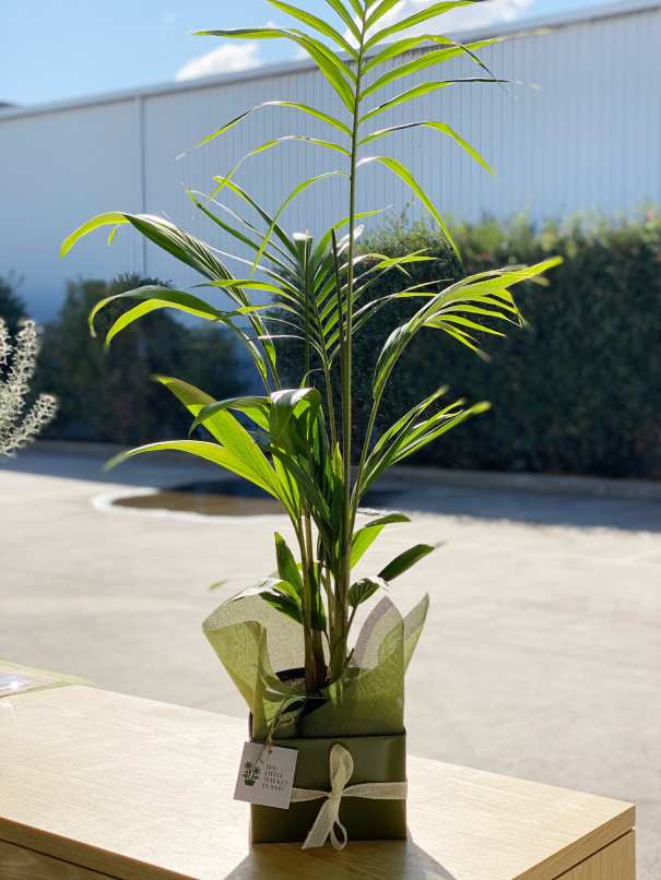 Areca Palm tree box