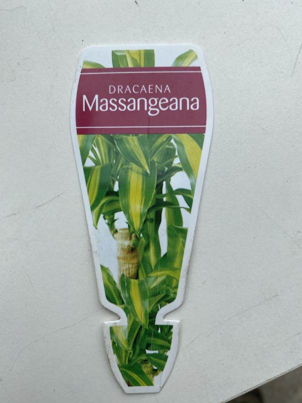 Dracaena fragrans box