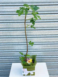 Fig fruit tree box