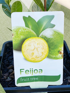 Feijoa fruit tree box