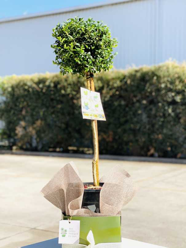 Buxus sempervirens /English box