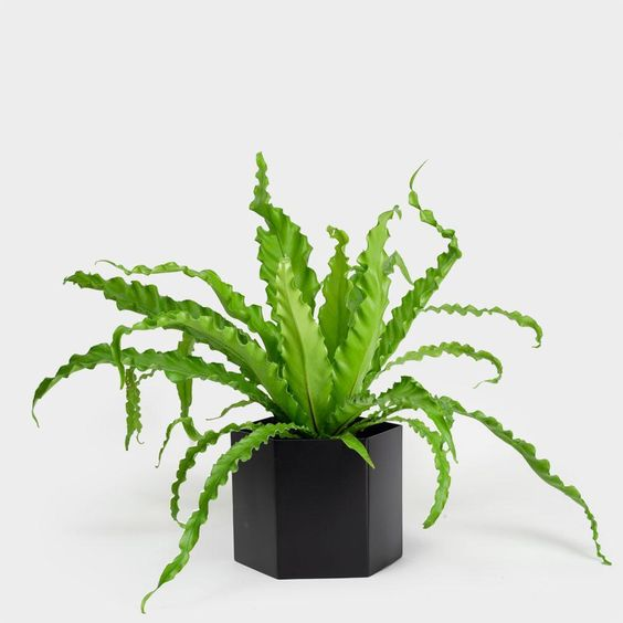 House Plant Care - Birds Nest Fern