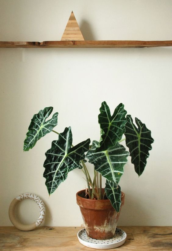 House Plant Care - Alocasia