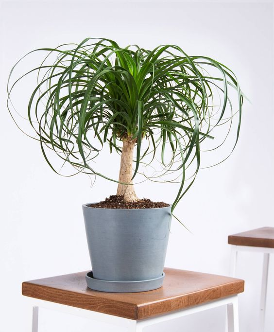 House Plant Care - Ponytail palm