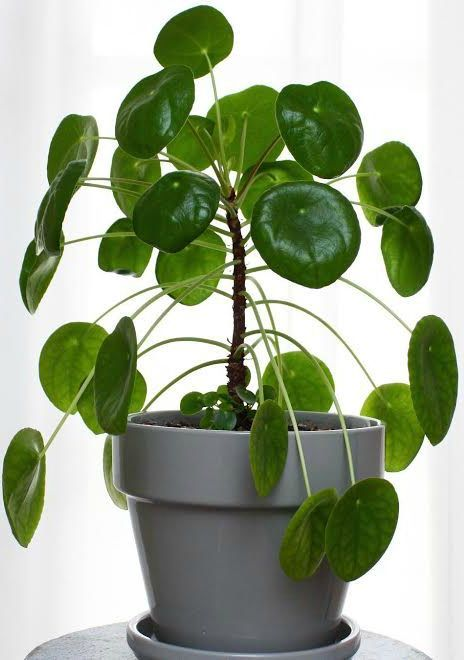 House Plant Care - Pilea