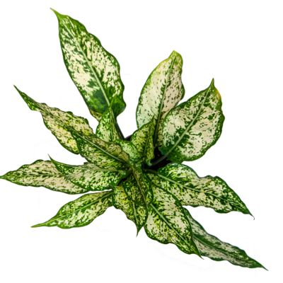 House Plant Care - Chinese Evergreen