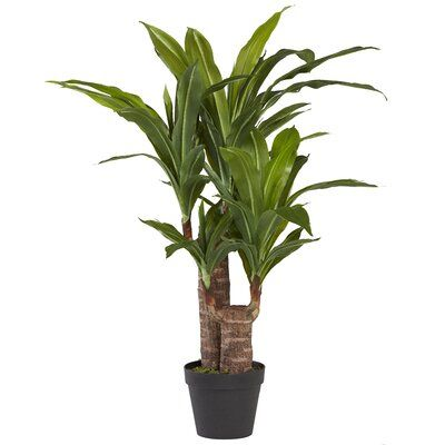 House Plant care - Draceana Fragrans
