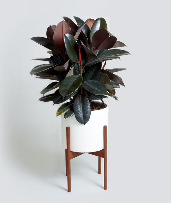 House Plant Care - Rubber Plant