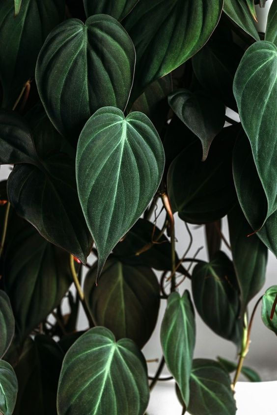 House Plant Care - Philodendron