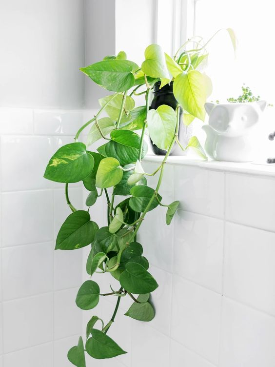House Plant Care - Pothos