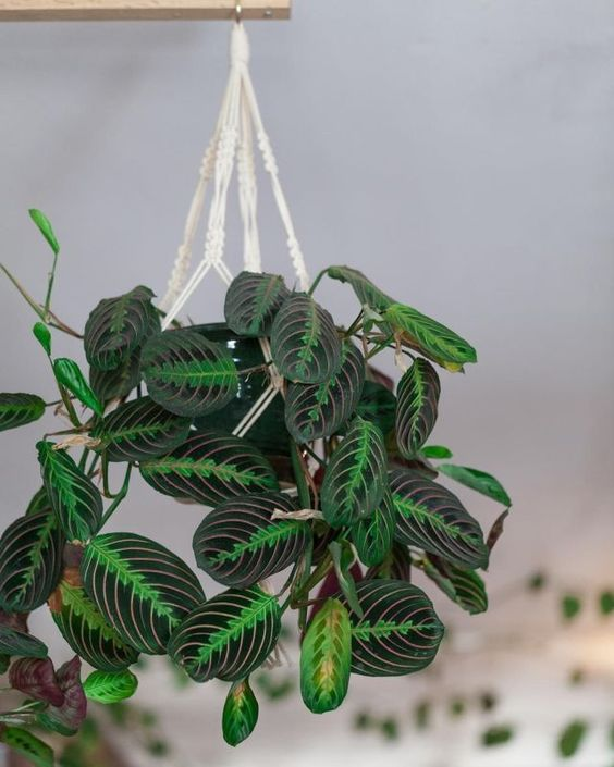 House Plant Care - Prayer Plant