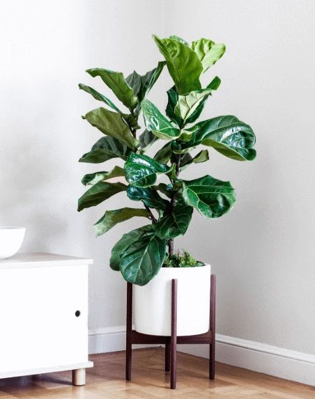 House Plant Care - Fiddle Leaf Fig