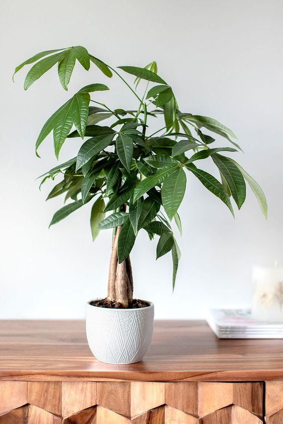 House Plant Care - Money Tree