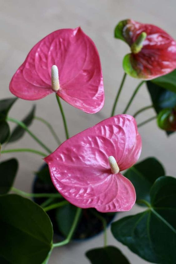 House Plant Care - Anthurium