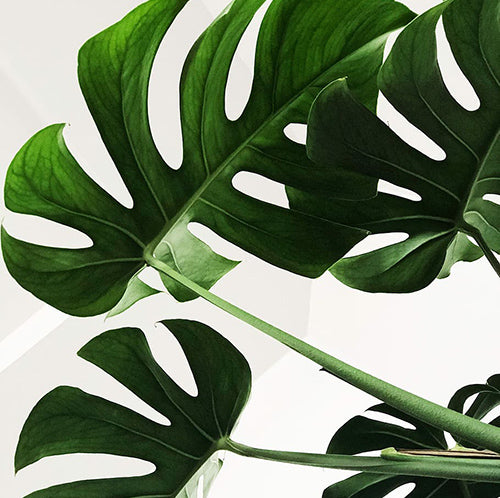 House Plant care - Monstera