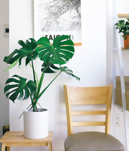 Monstera in a contemporary setting