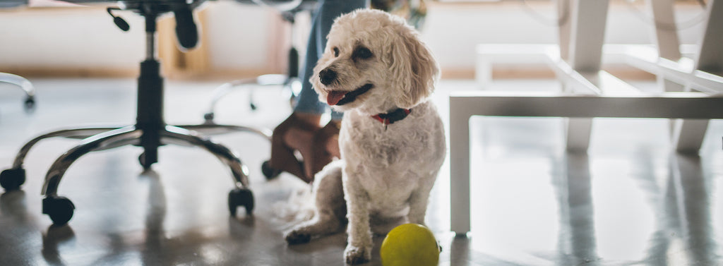 Enjoy a Dog-Friendly Office Without the Allergens and Odors