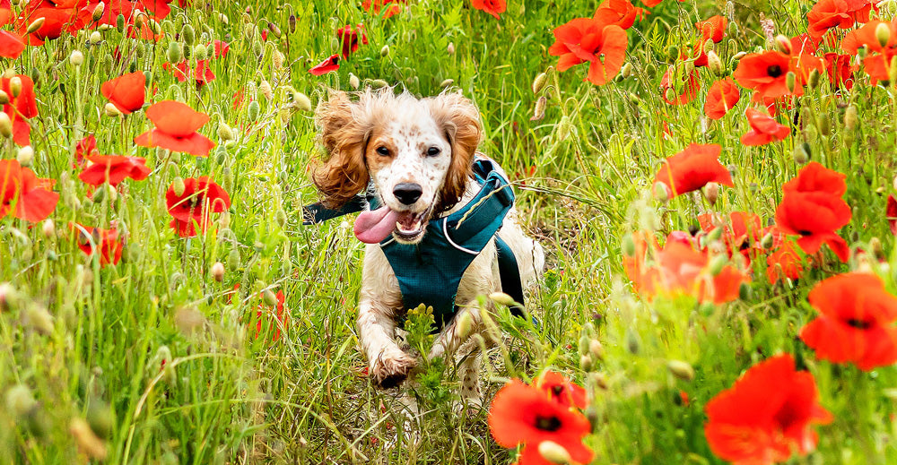 Can Raw Dog Food Help with my Dog's Hay Fever