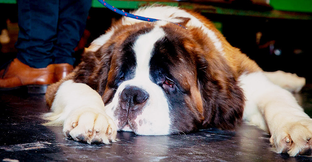 Crufts 2020 Benyfit Natural St Bernard