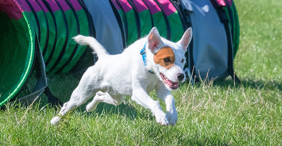 Rapid is a Parson Russell Terrier