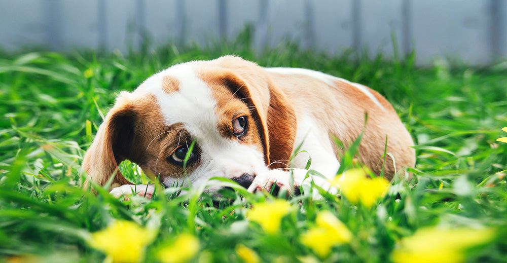 What are Hay Fever Symptoms in Dogs