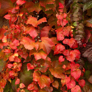 Parthenocissus tricuspidata 'Veitchii' (Boston Ivy)