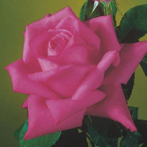 Miss All-American Beauty Hybrid Tea Rose