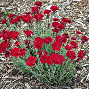 Dianthus 'Fire Star' (Pinks)