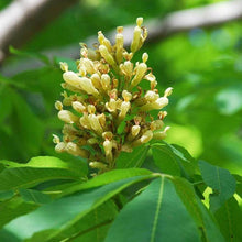 Load image into Gallery viewer, Aesculus flava (Yellow Buckeye)