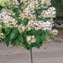 Load image into Gallery viewer, Hydrangea paniculata 'Quick Fire' - Tree Form