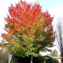 Load image into Gallery viewer, Acer truncatum x platanoides 'Warrenred' (Pacific Sunset Maple)