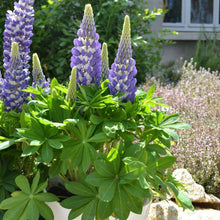 Load image into Gallery viewer, Lupinus Mini Gallery Blue Bicolor (Lupine)