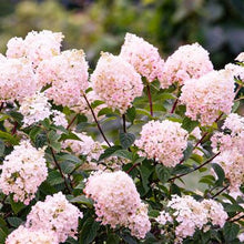 Load image into Gallery viewer, Hydrangea paniculata 'Strawberry Sundae'